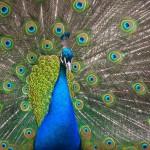 25 интересных фактов о павлинах