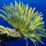 12 интересных фактов о морских лилиях