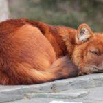 15 интересных фактов о красном волке