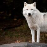 15 интересных фактов о полярном волке