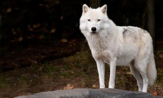 Интересные факты о полярном волке