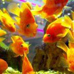 15 интересных фактов о золотых рыбках