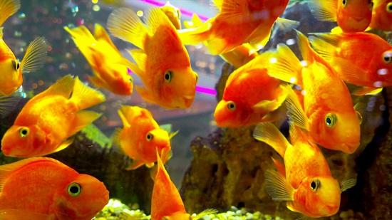 Интересные факты о золотых рыбках
