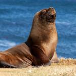 16 интересных фактах о морских львах