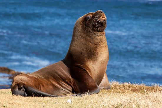 Факты о морских львах