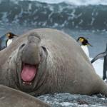 17 интересных фактов о морском слоне