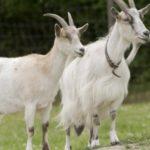 17 интересных фактов о козах