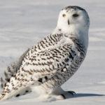 18 интересных фактов о полярной сове