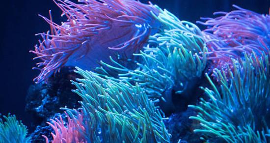 Интересные факты об анемонах