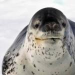 20 интересных фактов о морском леопарде