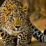 20 интересных фактов о леопардах
