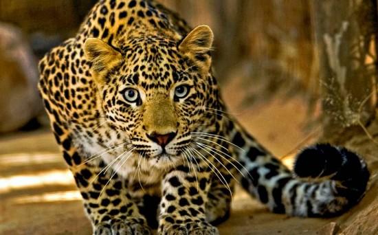 Факты о леопардах