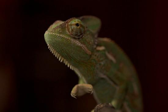 15 интересных фактов о хамелеонах
