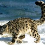 22 интересных факта о снежных барсах