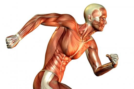 факты о мышцах
