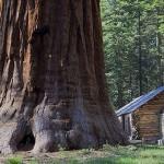 14 интересных фактов о секвойях