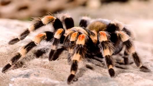 факты о тарантулах