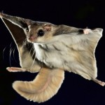 17 интересных фактов о летягах