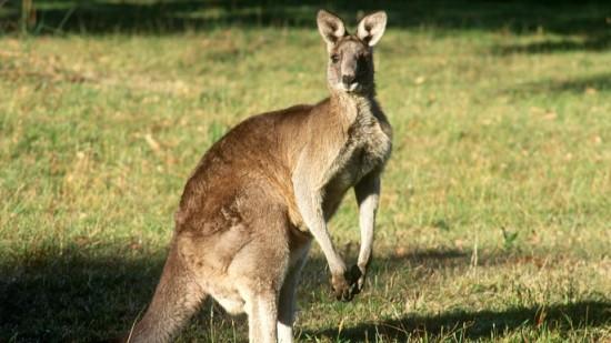 Интересные факты о кенгуру