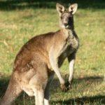 21 интересный факт о кенгуру