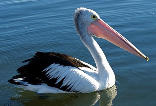 Факты о пеликанах