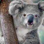 23 интересных факта о коалах