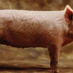 23 интересных факта о свиньях