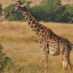 23 интересных факта о жирафах