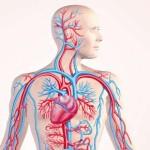 25 интересных фактов о кровеносной системе