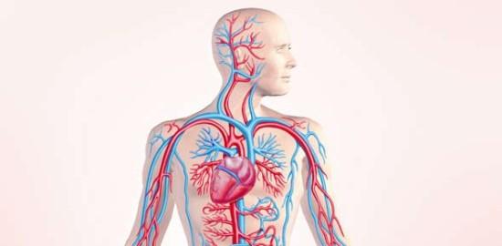 Интересные факты о кровеносной системе
