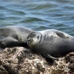 25 интересных фактов о морских котиках