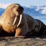 25 интересных фактов о моржах