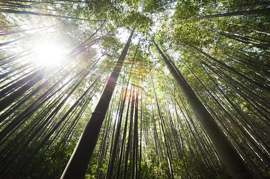 Факты о бамбуке