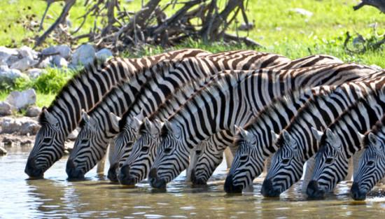 Интересные факты о зебрах