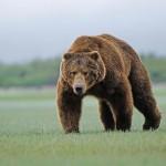 27 интересных фактов о буром медведе