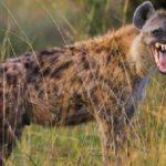 27 интересных фактов о гиенах
