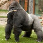 27 интересных фактов о гориллах