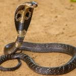 27 интересных фактов о кобрах