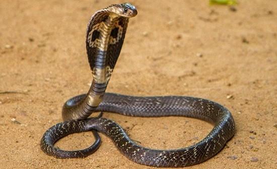 Интересные факты о кобрах
