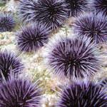 27 интересных фактов о морских ежах
