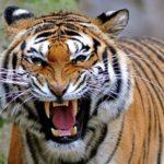 27 интересных фактов о тиграх