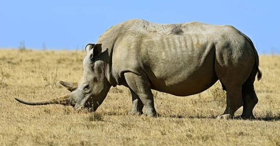 Интересные факты о носорогах