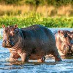 40 интересных фактов о бегемотах