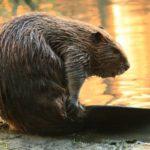 15 интересных фактов о бобрах