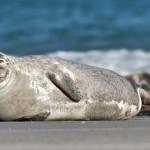 11 интересных фактов о тюленях
