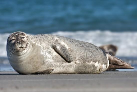 Факты о тюленях