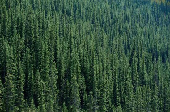 Факты о хвойных лесах