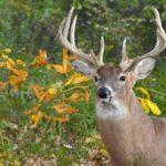 10 интересных фактов о оленях