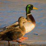 18 интересных фактов об утках