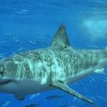 35 интересных фактов об акулах